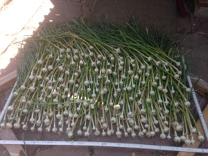 Garlic Harvest 2014
