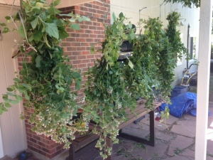 hanging Oregano
