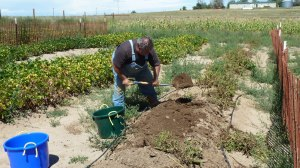 Organic Farm - Labor Day 2014_03 - Jon digging Potatoes