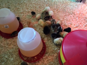 2015 chicks 2