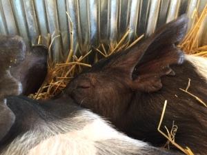 Pig 13 2015
