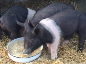 pig 3 2015