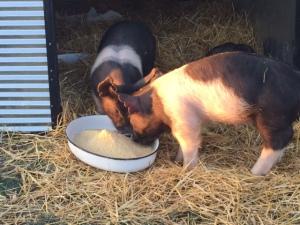 pig 5 2015