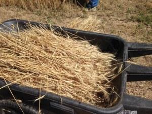 2015 wheat 1