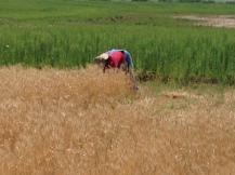 2015 wheat 2