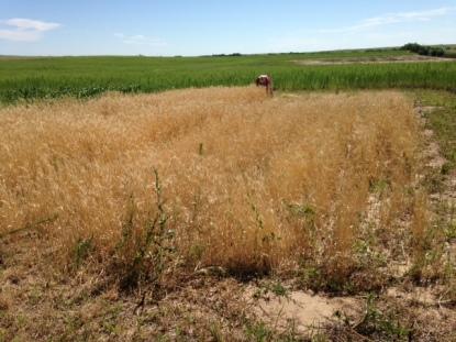 2015 wheat 3
