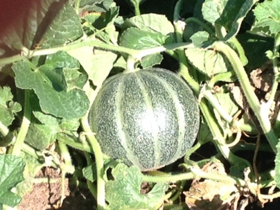 Melons 2015 4