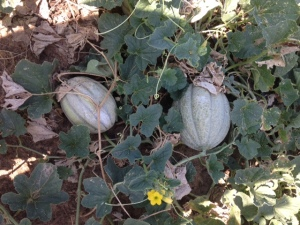 Melons 2015