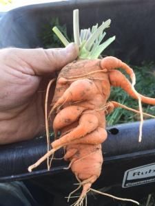 Carrots 4