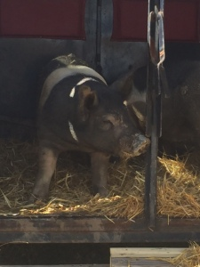 pigs to processor 2015