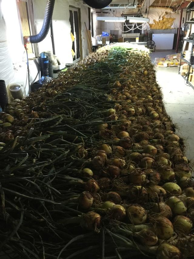 onion-harvest