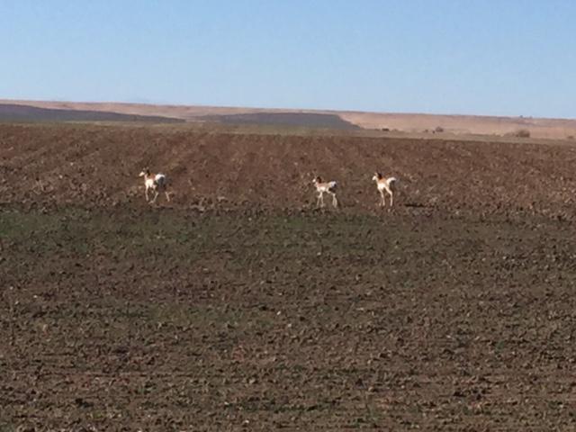 antelope-2016