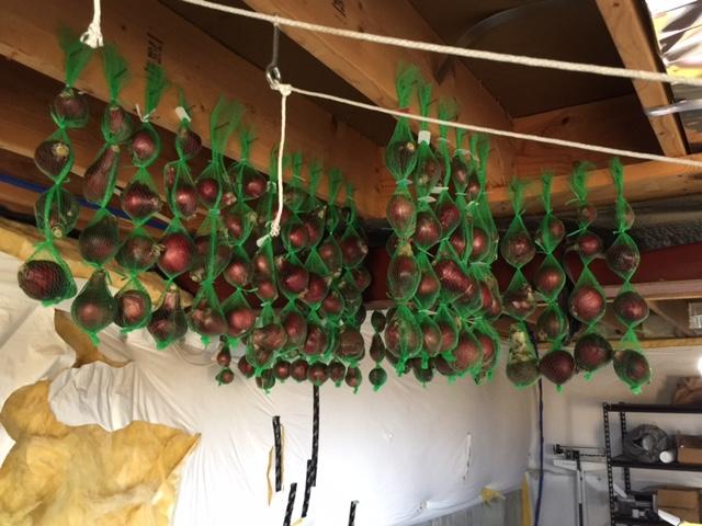 hanging-onion-1