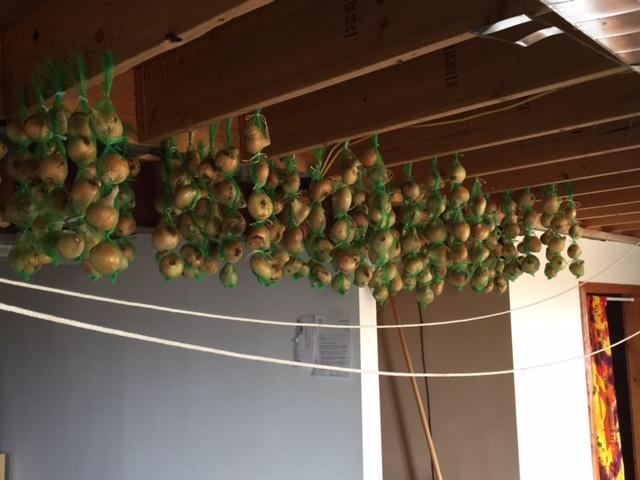 onion-hanging-2